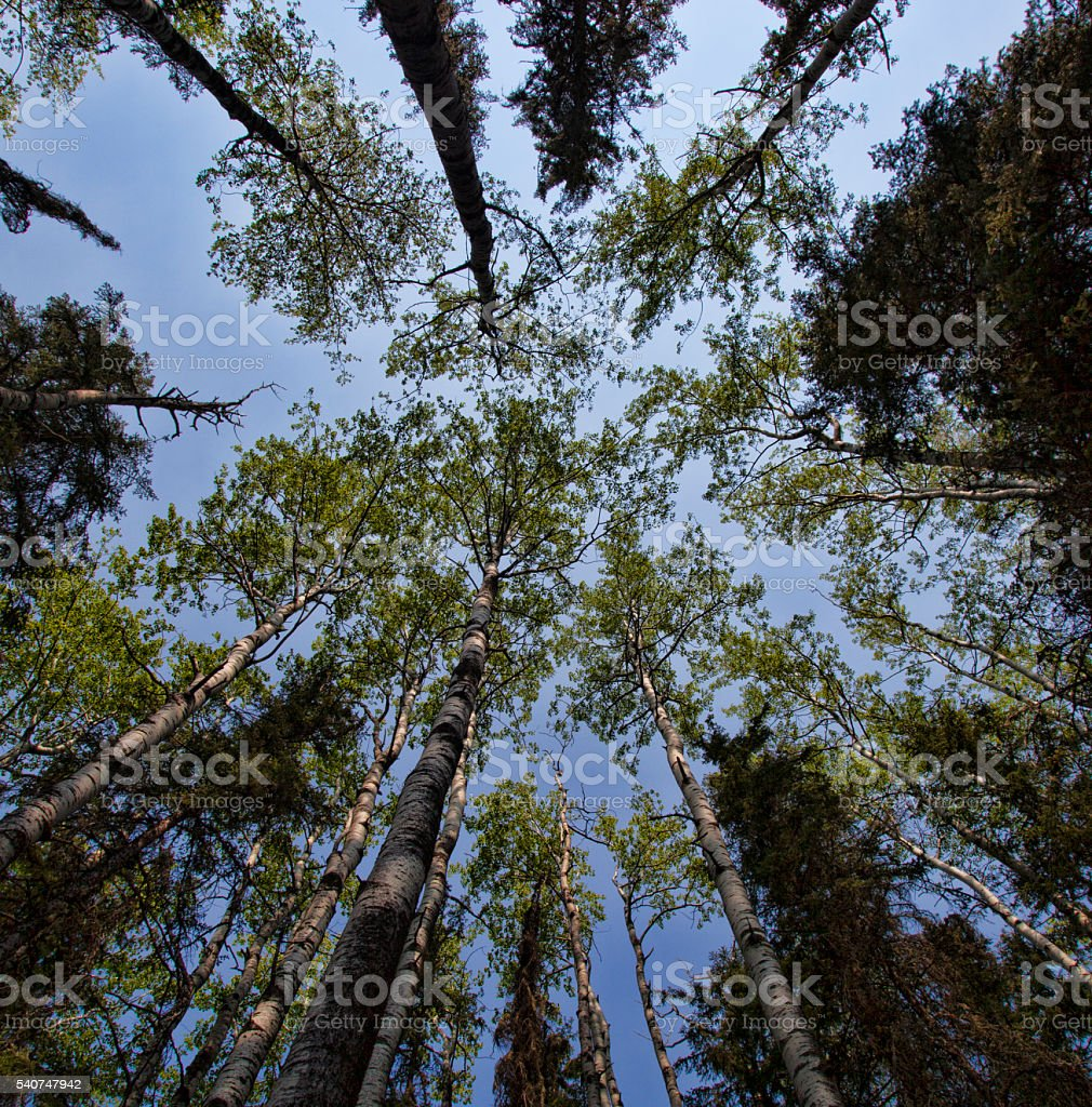 Tall forest stock photo
