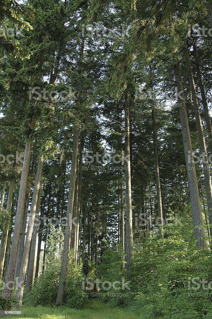 Tall forest royalty-free stock photo