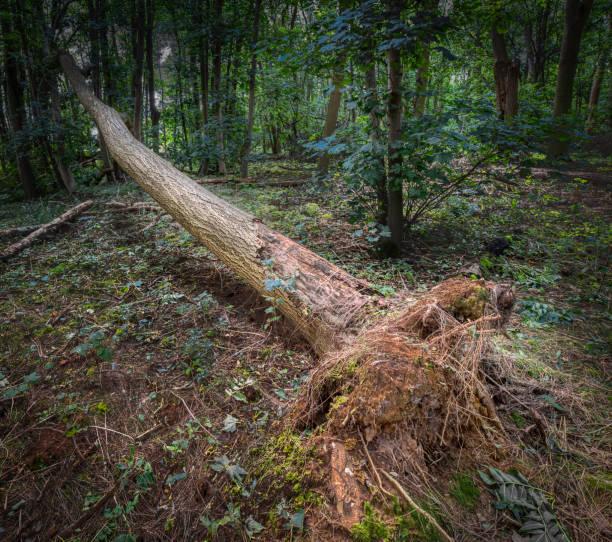 Hoher Waldbaum vom Wind umweht – Foto