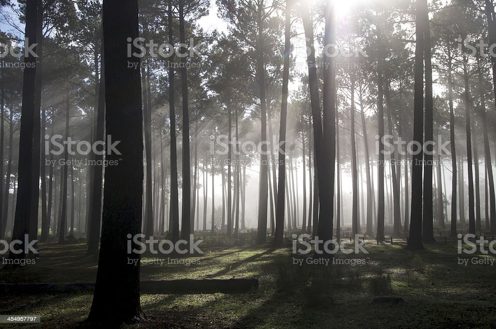 Tall Forest Trees stock photo