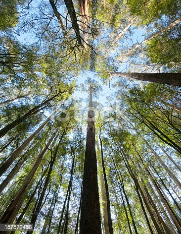 istock Tall Forest Up Above 157572486