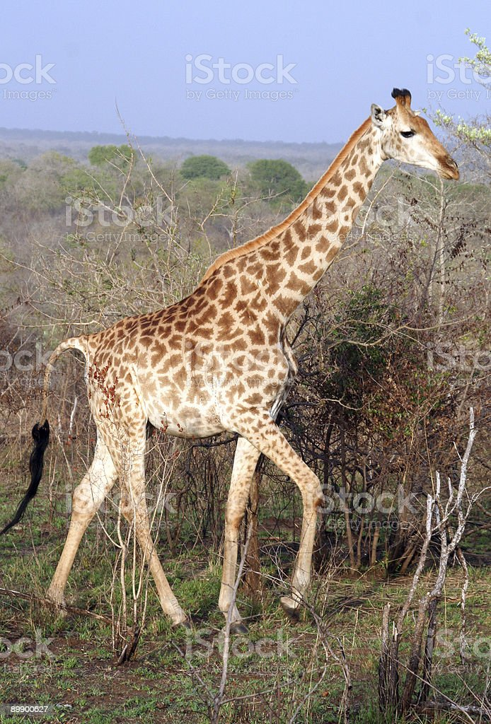 Tall Giraffe royalty-free stock photo