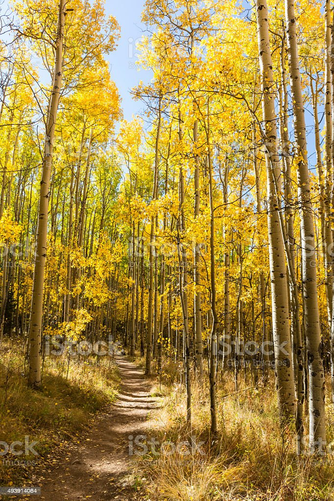 Tall Golden Aspen Trail stock photo