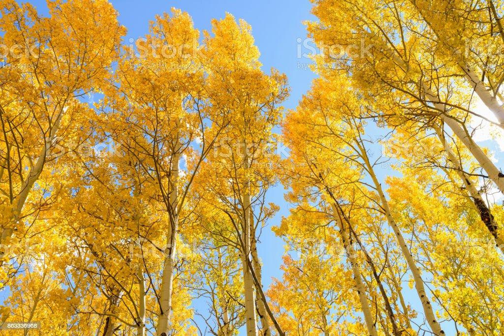 Tall golden autumn aspen trees against bright blue sky. stock photo