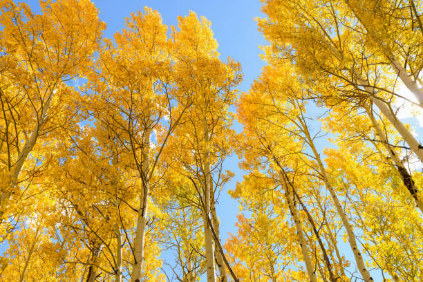 Tall golden autumn aspen trees against bright blue sky. Golden Aspen routt county stock pictures, royalty-free photos & images