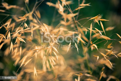 Close up color image depicting the abstract patterns made by golden tall grass on a green background of lush foliage. Room for copy space.