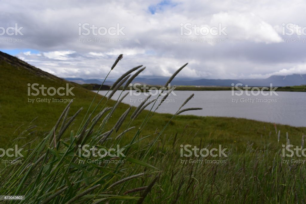 Tall Grass at Lake Myvatn Pseudocraters in North Iceland stock photo