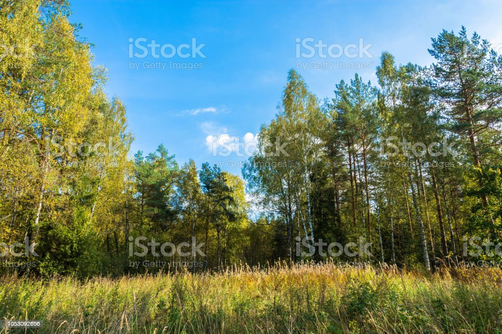Tall grass at the forest edge. стоковое фото