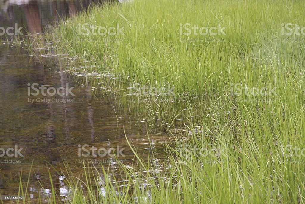 Tall Grass in a Pond of Yosemite National Park stock photo