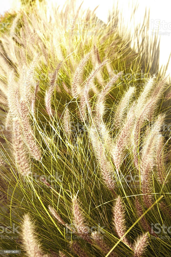 Tall grass in nature stock photo