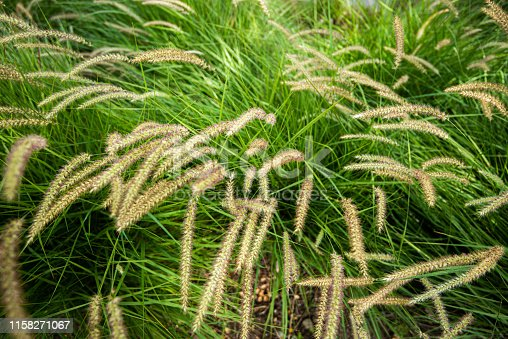 Close up of overgrown tall grass with furry tips.