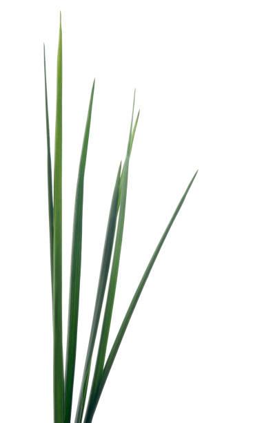 Tall Grass stock photo