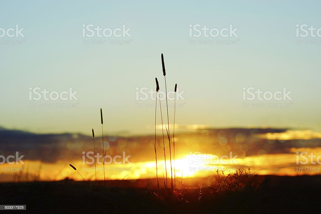 tall grass silhouette. Tall Grass Silhouette At Dramatic Golden Sunset, Bokeh Light Royalty-free Stock Photo