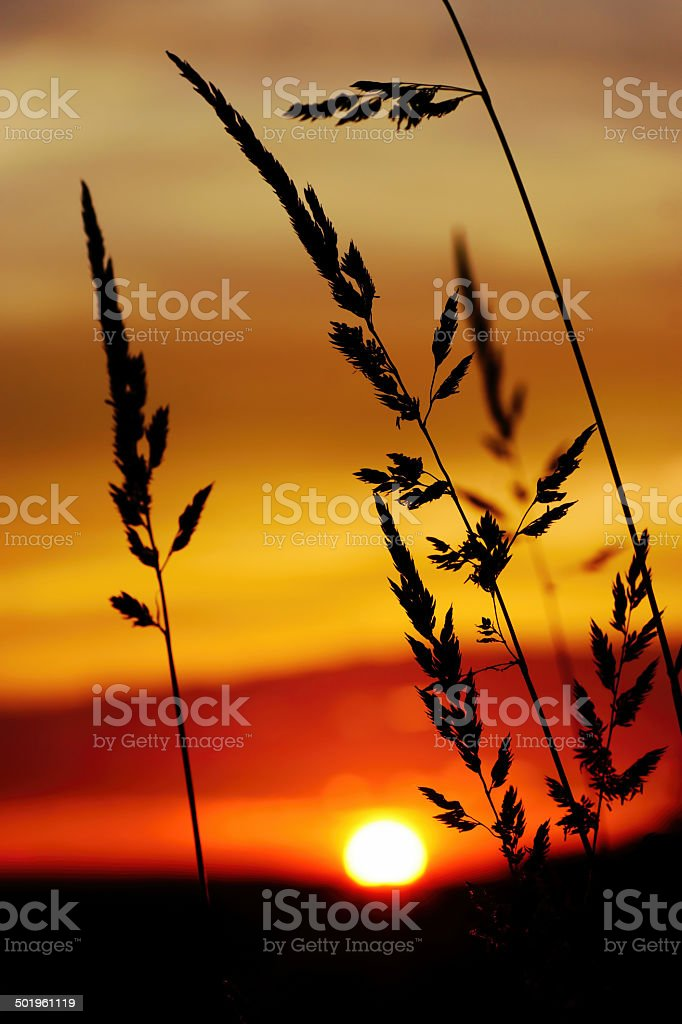 tall grass silhouette. Perfect Tall Tall Grass Silhouette At Dramatic Golden Sunset Royaltyfree Stock Photo In Grass Silhouette