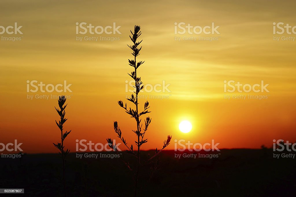 Tall Grass Field Sunset Intended Tall Grass Silhouette At Dramatic Golden Sunset Royaltyfree Stock Photo Grass Silhouette At Sunset Stock Photo u0026 More