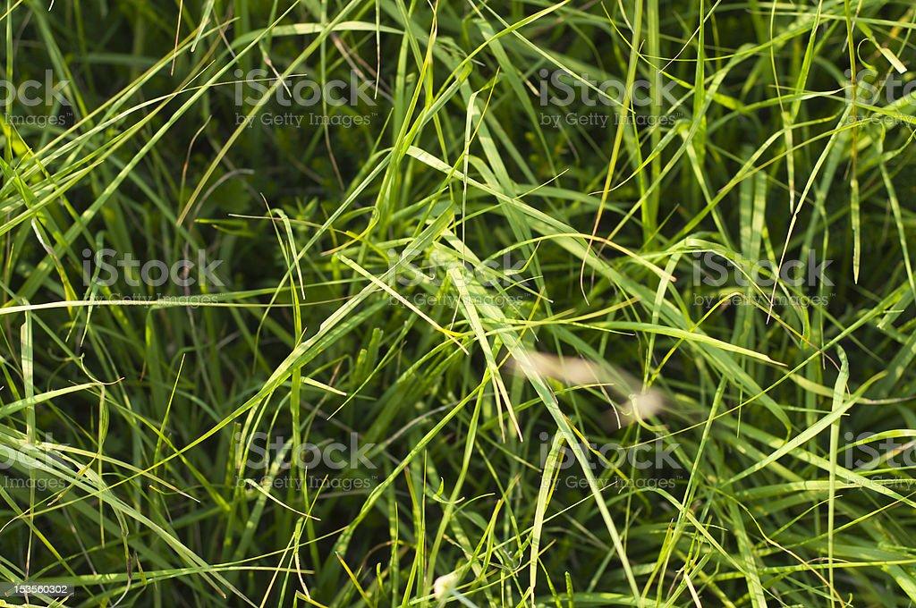 tall grass texture. Tall Grass Texture Royalty-free Stock Photo X