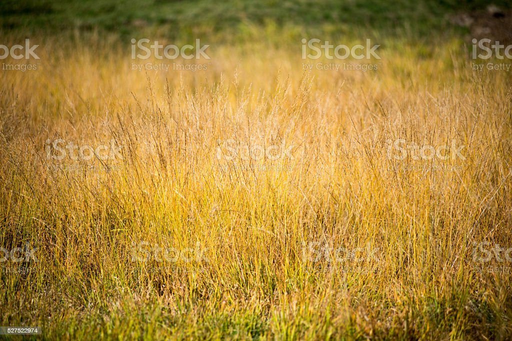 Tall grass thickets background stock photo