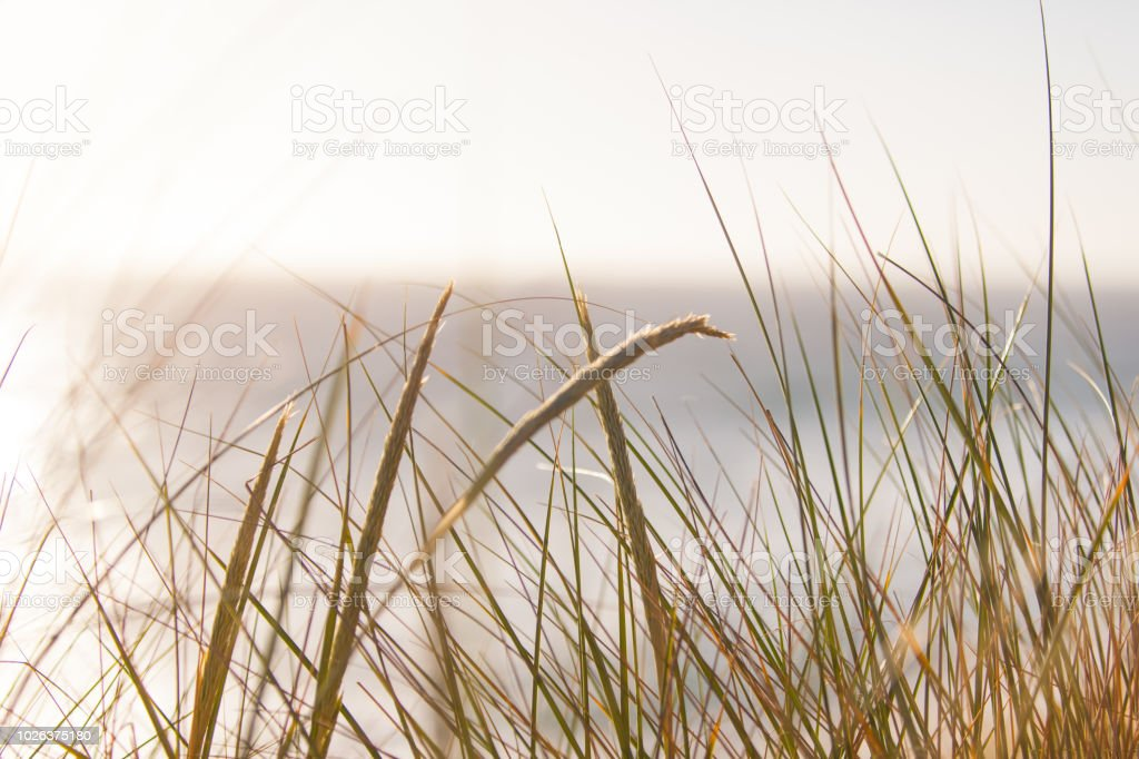 Tall Grass with seeds at beach stock photo