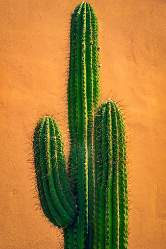 Background Image of A Tall Cactus In Front of a Terracotta Colored Wall