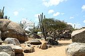 tall green cactus flowers in rocky landscape in Aruba island