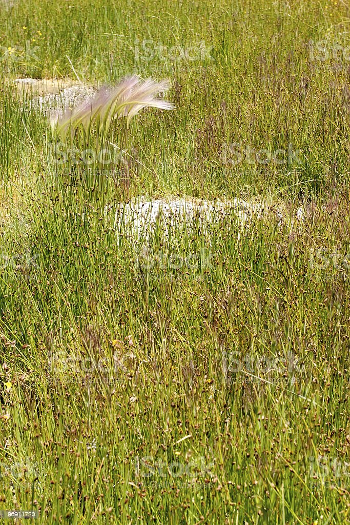 Tall green grass close up royalty-free stock photo