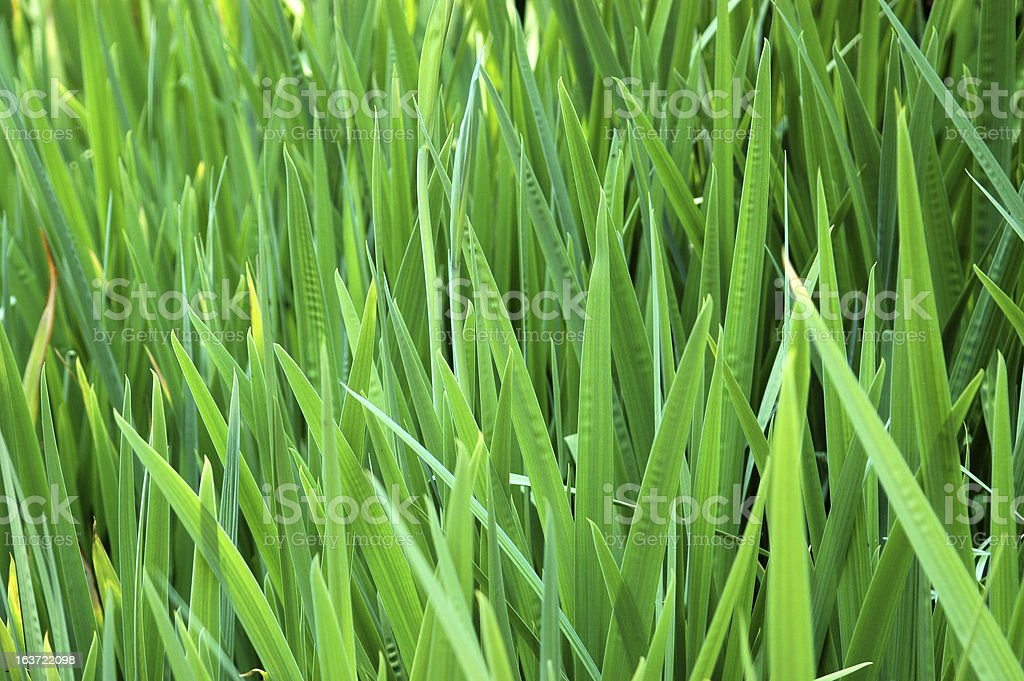 Tall Green Grass royalty-free stock photo