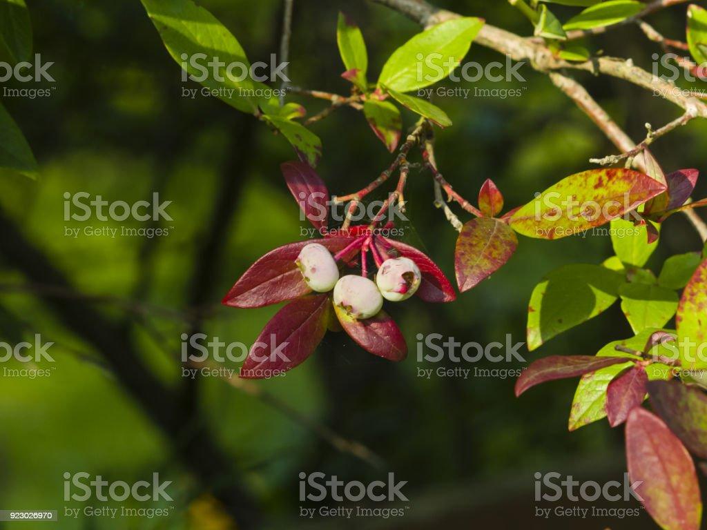 Tall huckleberry,Vaccinium corymbosum, riping berries close-up, selective focus, shallow DOF stock photo
