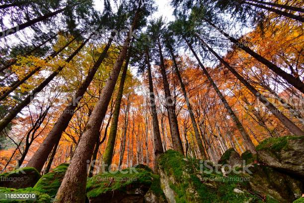 Photo of Tall larches trees with gold birches over mossy rocks.