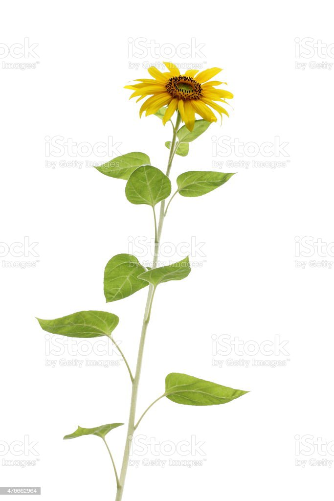 Tall leafy sunflower isolated against a white background with stem stock photo