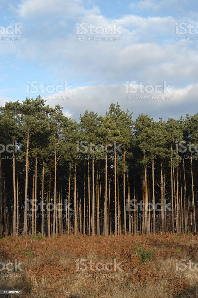 Tall linear pines royalty-free stock photo