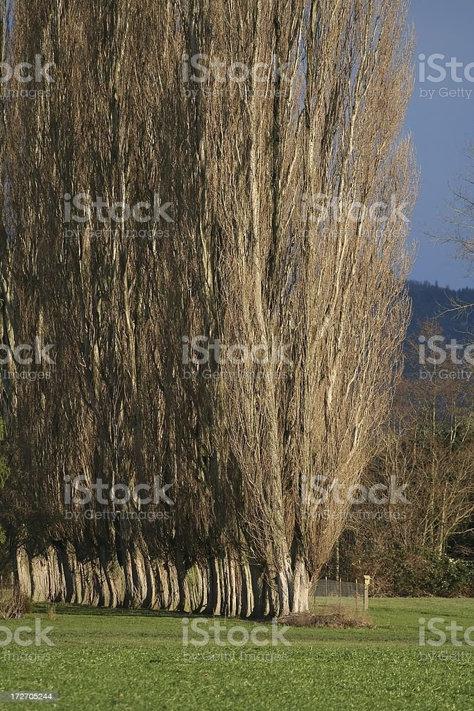 Tall Lombardi Poplars royalty-free stock photo