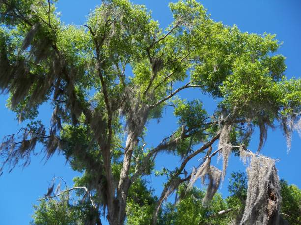 Tall oak against bright blue sky stock photo