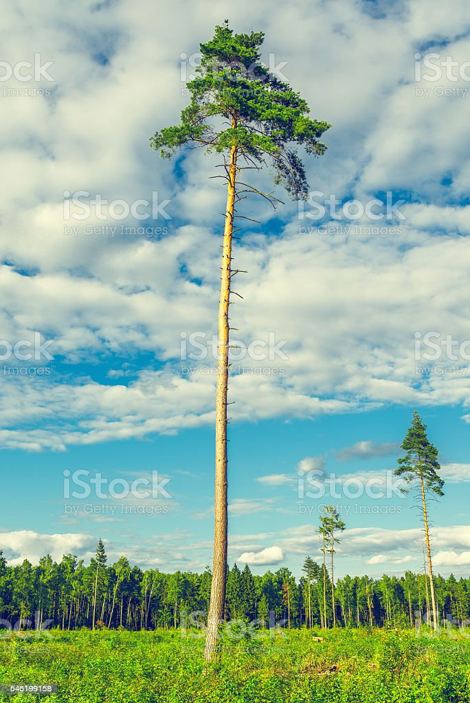 Tall old pine trees. stock photo