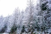 Tall old long growing trees and pine trees covered with snow in winter