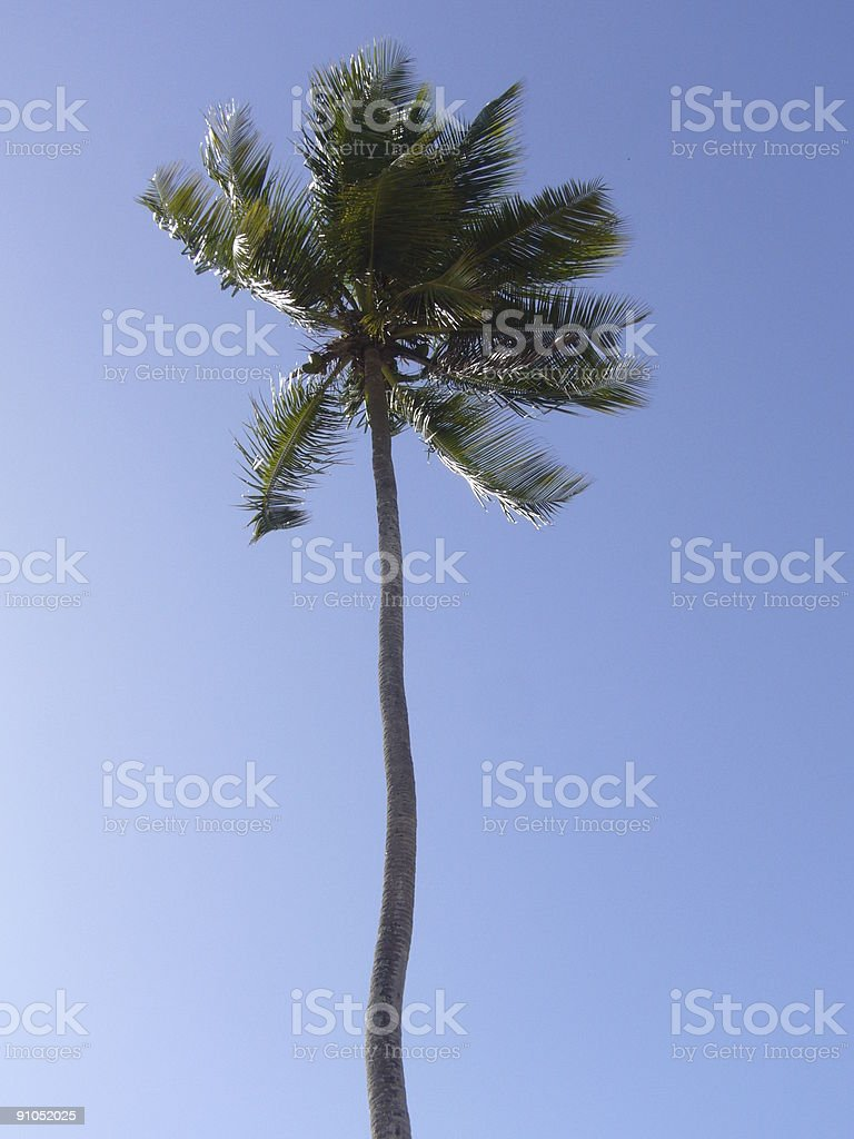 Tall Palm Tree royalty-free stock photo