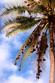 Tall palm tree with many bird nests on the branches