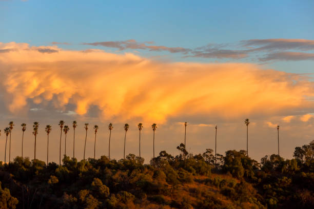 Tall Palm Trees at Sunset stock photo