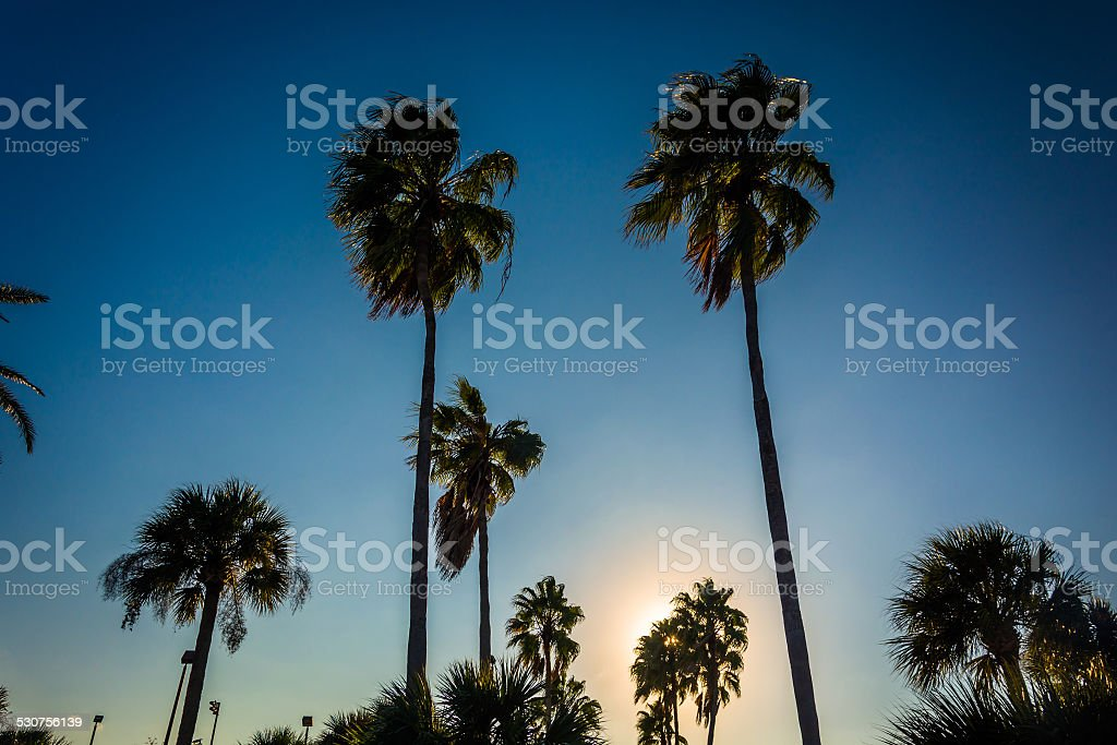 Tall palm trees in Daytona Beach, Florida. stock photo