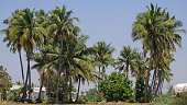 Tall palms ( Borassus flabellifer ) on the edge of a small settlement in Tamil Nadu state, India. This type of tree of the genus Arecaceae, and commonly known as the Palmyra or Doub palm, is abundant in the area