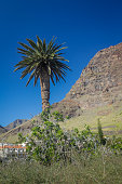 Tall palmtree and the landscape of La Gomera Valle Gran Rey, Canary Islands, Spain