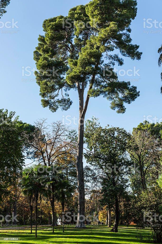 tall pine in the Retiro park. Madrid, Spain stock photo