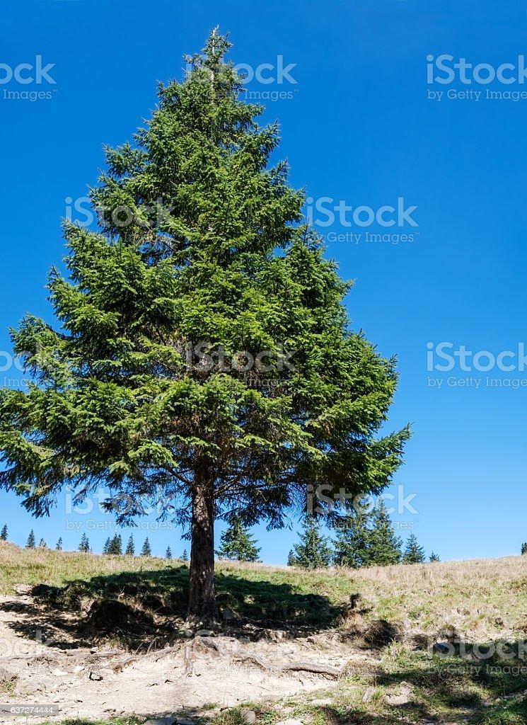 tall pine stock photo