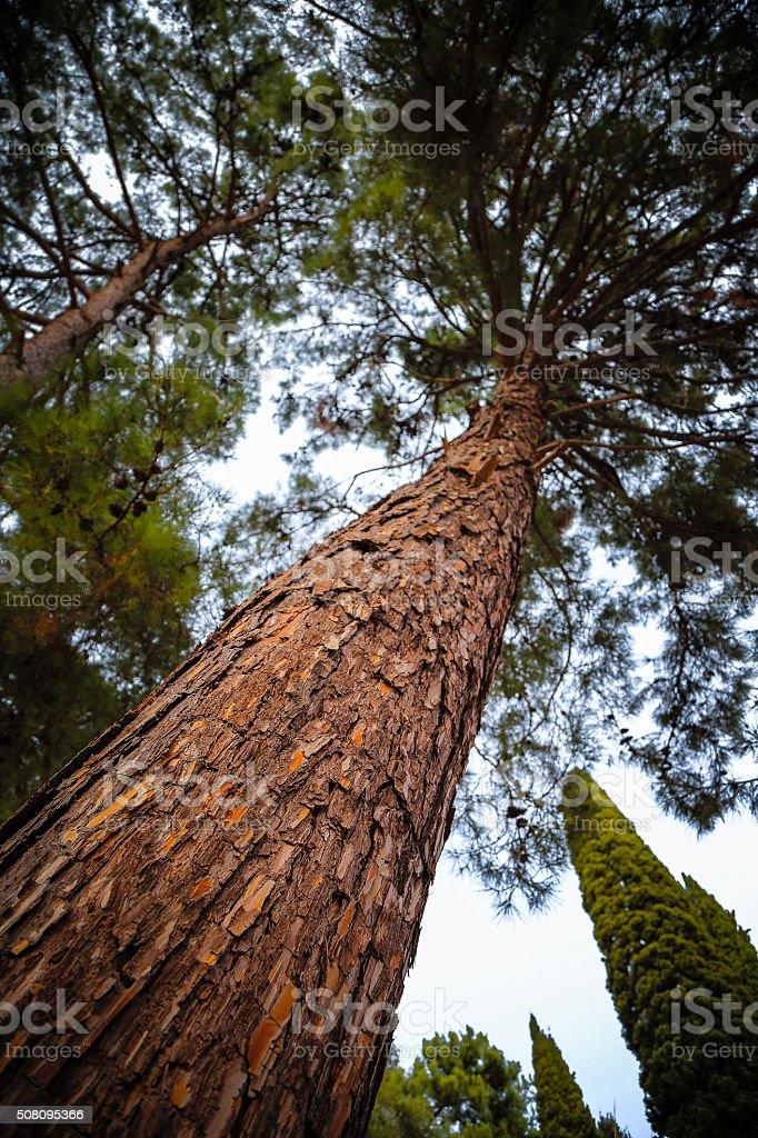 Tall pine tree from below stock photo