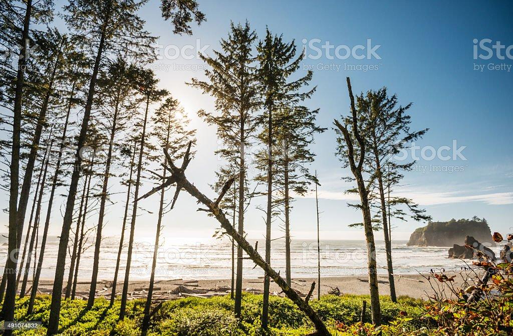 Tall pine tree in the Washington State coastline stock photo