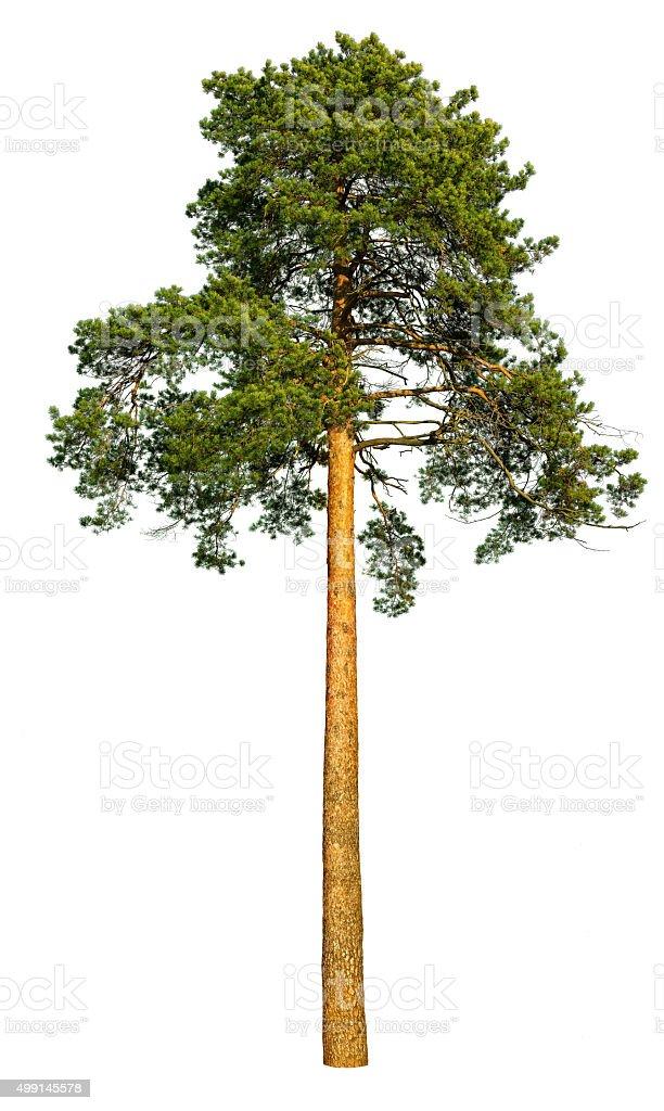 Tall pine tree. stock photo