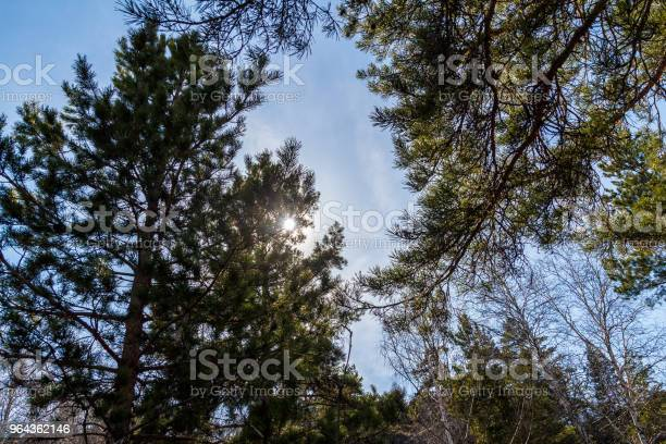 Photo of tall pines against the sky and the sun