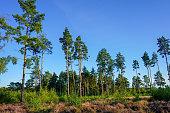 istock Tall pines trees in heathland with full sun 1310790935