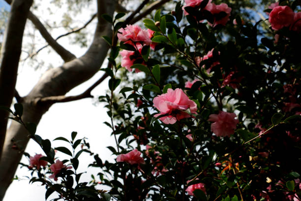 Tall Pink Camellia Bush in Flower stock photo