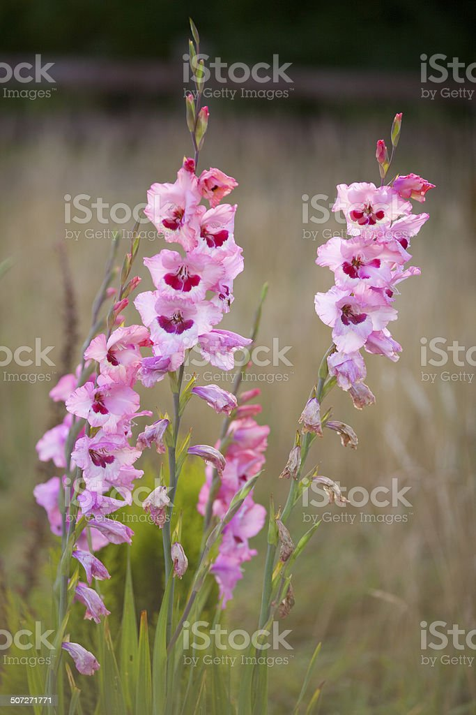 Tall pink flowers gladioli against muted background royalty-free stock photo