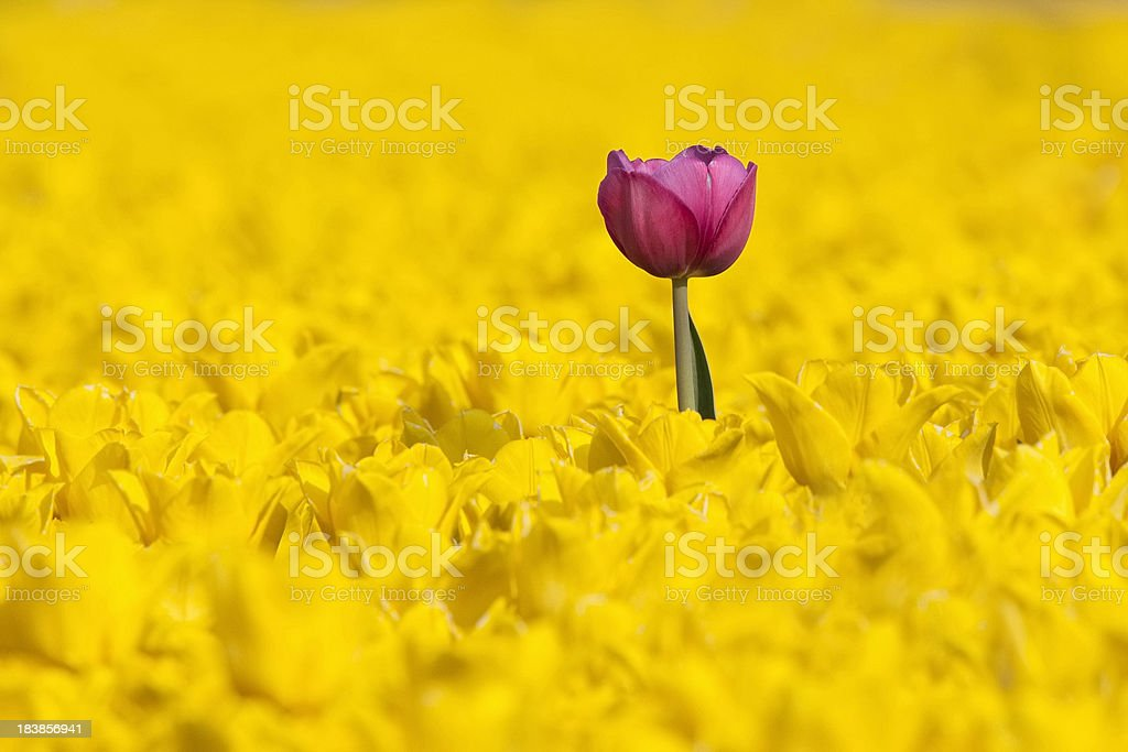 Tall pink tulip towering over dense field of yellow tulips royalty-free stock photo